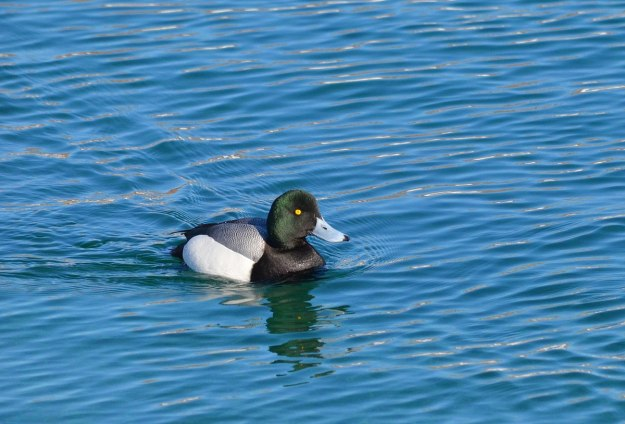greater scaup, male, tommy thompson park, toronto pic 3