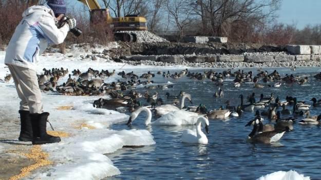 jean photographs tundra swan, unwin bridge, toronto, 4