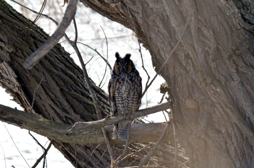 long-eared owl, tommy thompson park, toronto 10