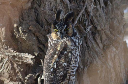 long-eared owl, tommy thompson park, toronto 11