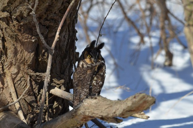 long-eared owl, tommy thompson park, toronto 6