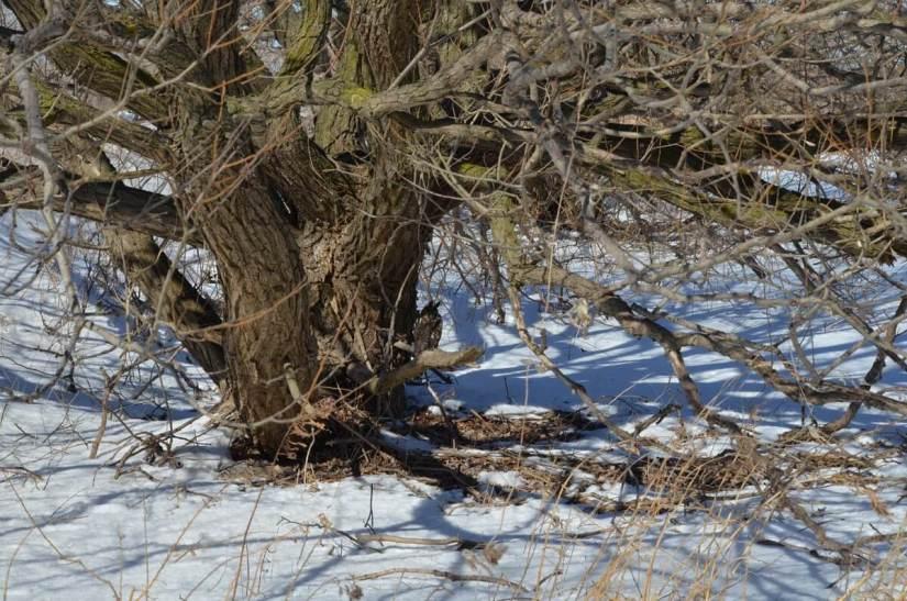 long-eared owl, tommy thompson park, toronto 8