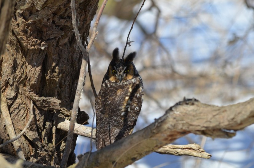 long-eared owl, tommy thompson park, toronto 9