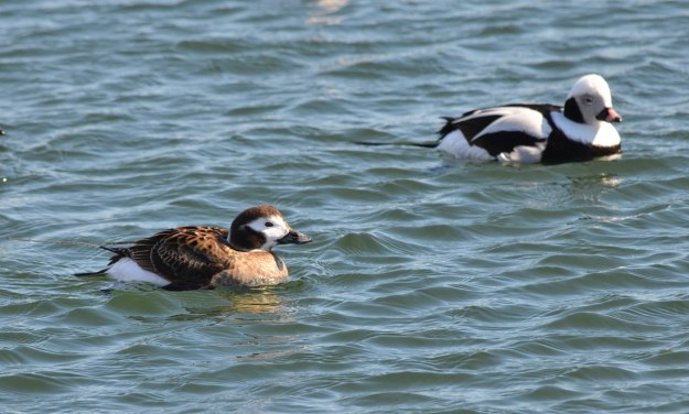 long-tailed ducks, female and male, tommy thompson park, toronto pic1