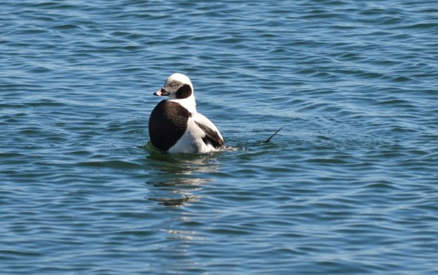 long-tailed ducks, tommy thompson park, toronto pic 11