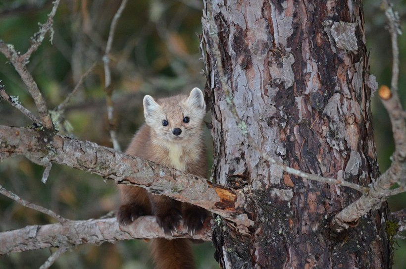 Pine marten sitting in a tree to looks towards camera in Algonquin Park