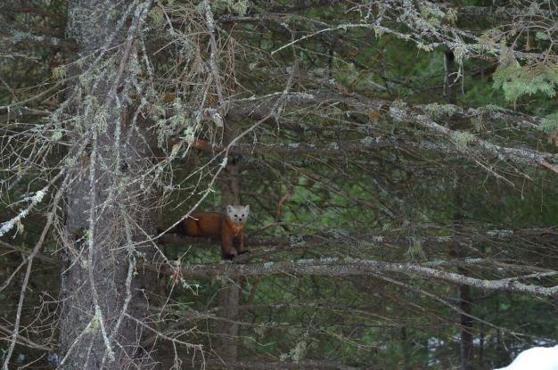 Pine marten in pine tree in Algonquin Park