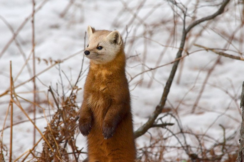 Pine marten stands up on snow drift in Algonquin Park, Ontario