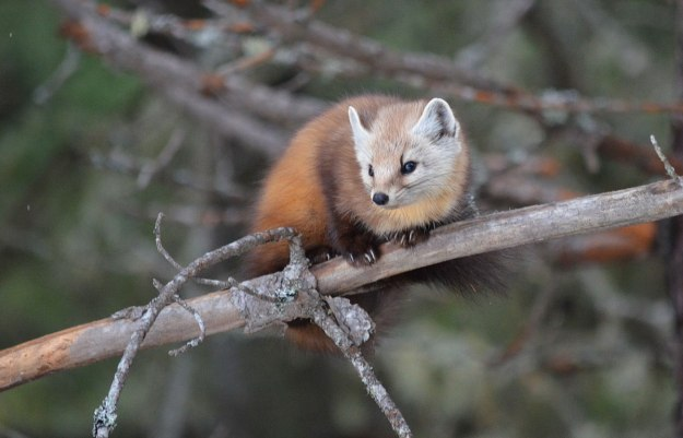 Pine marten on tree branch in Algonquin Park, Ontario
