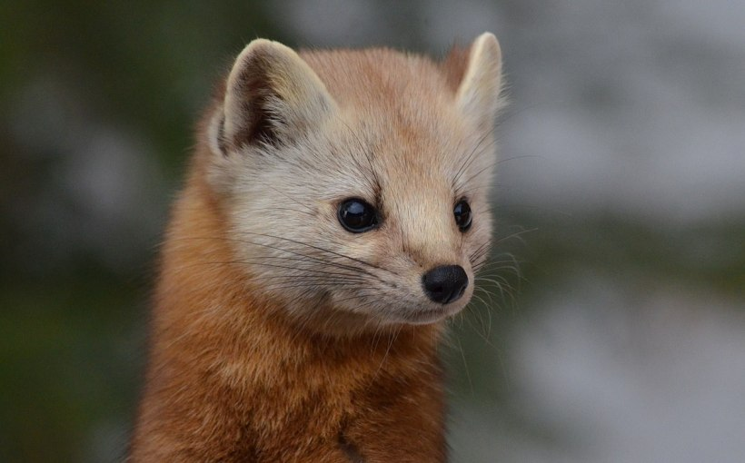 Closeup of a pine martens head in Algonquin Park