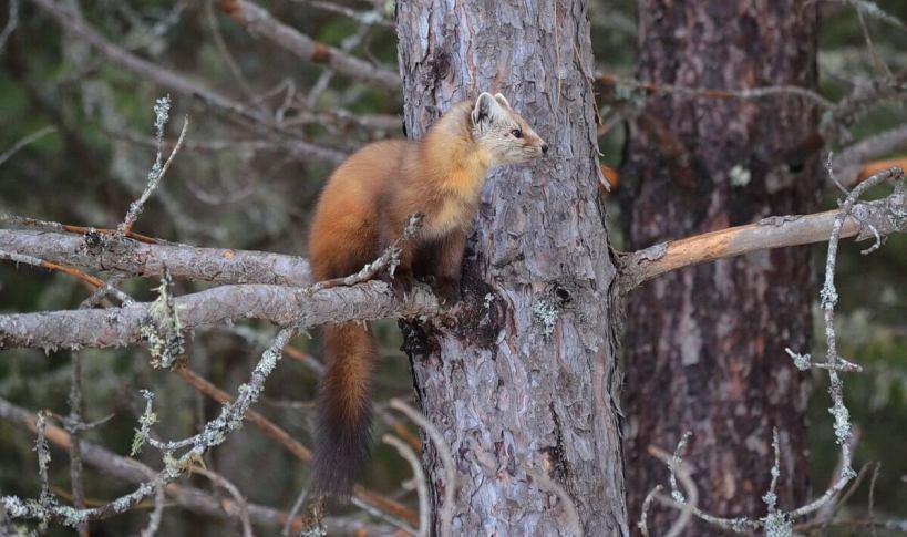 Pine marten sitting on tree limb in Algonquin Park, Ontario