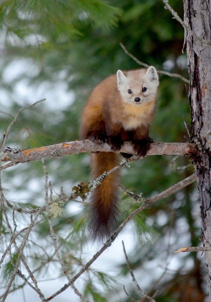 Pine marten sitting on tree limb in Algonquin Park