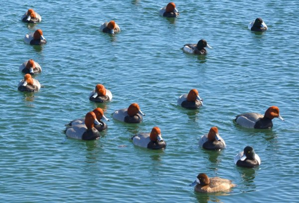 redhead ducks, tommy thompson park, toronto, pic 2