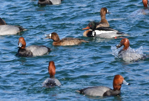 redhead ducks, tommy thompson park, toronto, pic 7