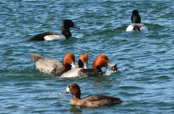 redhead ducks, tommy thompson park, toronto, pic 9