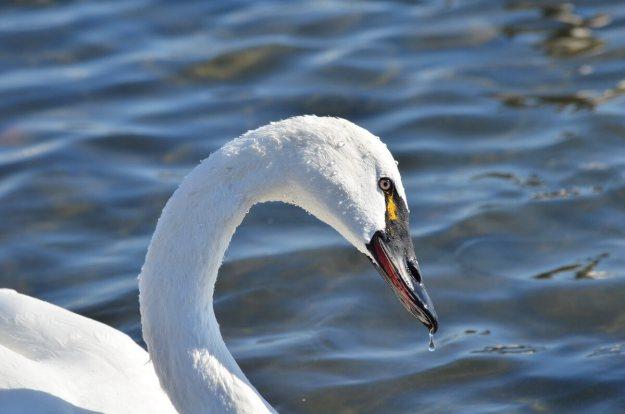 tundra swan, unwin bridge, toronto, 1