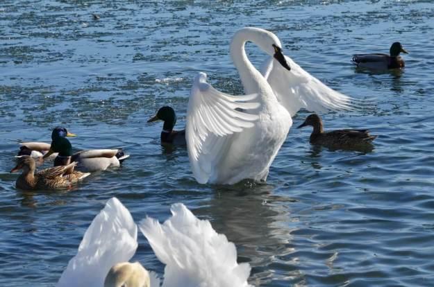 tundra swan, unwin bridge, toronto, 11