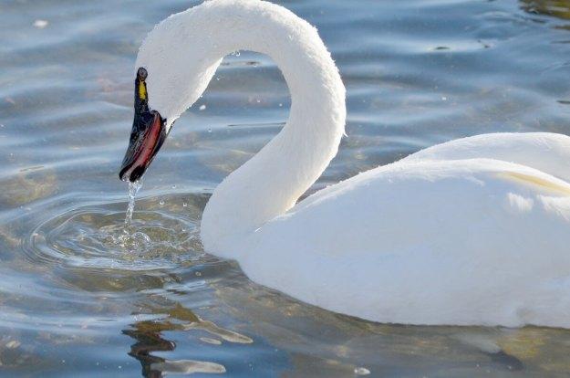 tundra swan, unwin bridge, toronto, 4