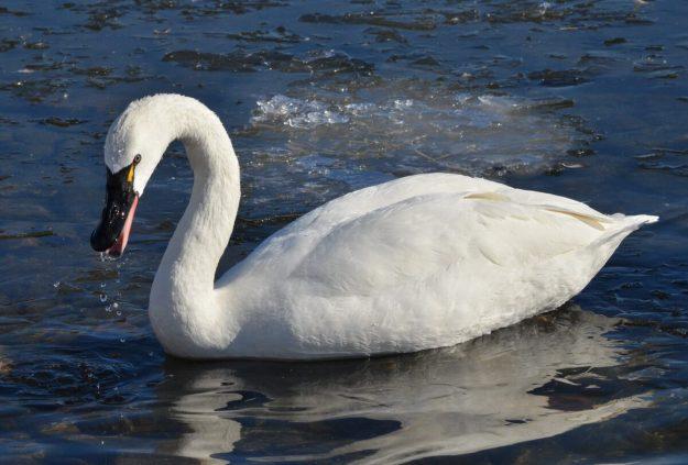 tundra swan, unwin bridge, toronto, 8