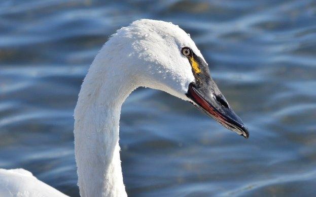 tundra swan, unwin bridge, toronto, 9