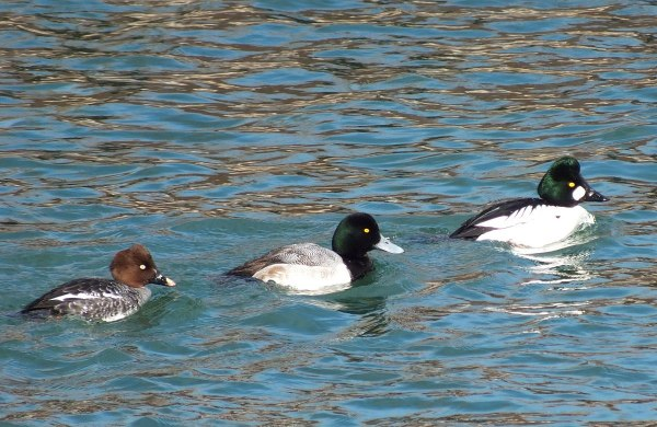 various types of ducks, tommy thompson park, toronto pic 2