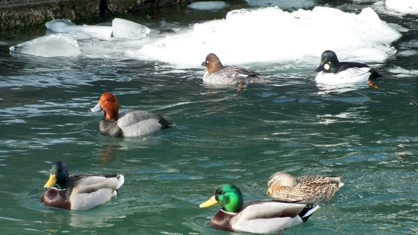 various types of ducks, toronto harbour, ontario