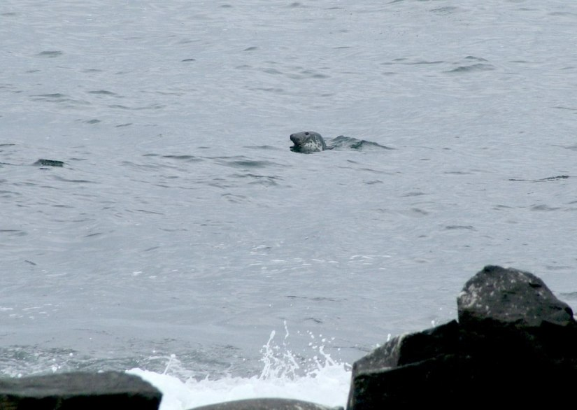 An image of a sea lion swimming in the North Atlantic beside the Giant's Causeway, near Portrush, Northern Ireland. Photography by Frame To Frame - Bob and Jean.
