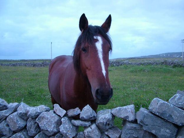 horse on inishmore island, aran islands, ireland, pic 9