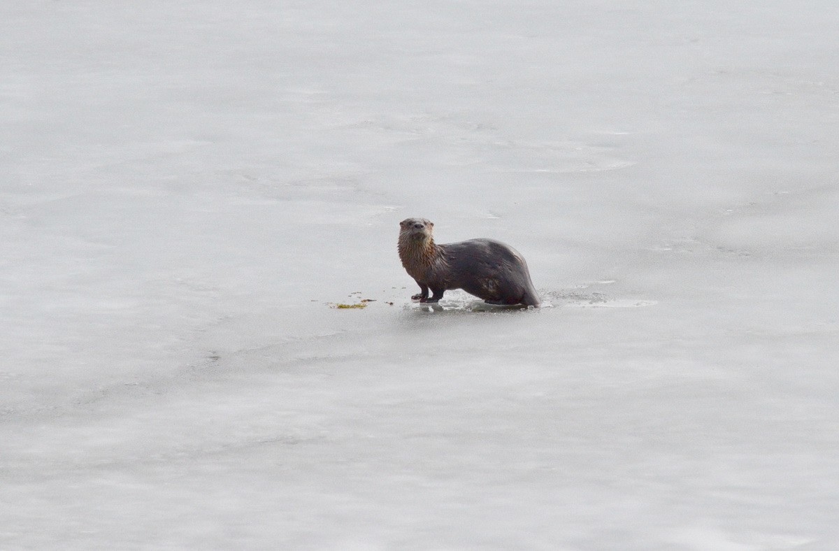 A river otter enjoys a spring day near Haliburton, Ontario