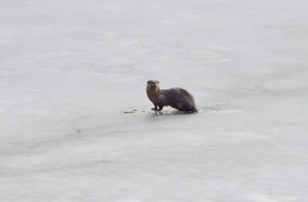 otter on ice, minden, ontario