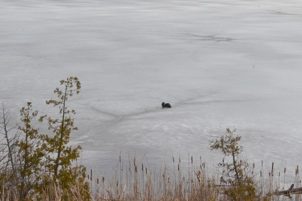 otter on lake near minden, ontario 2