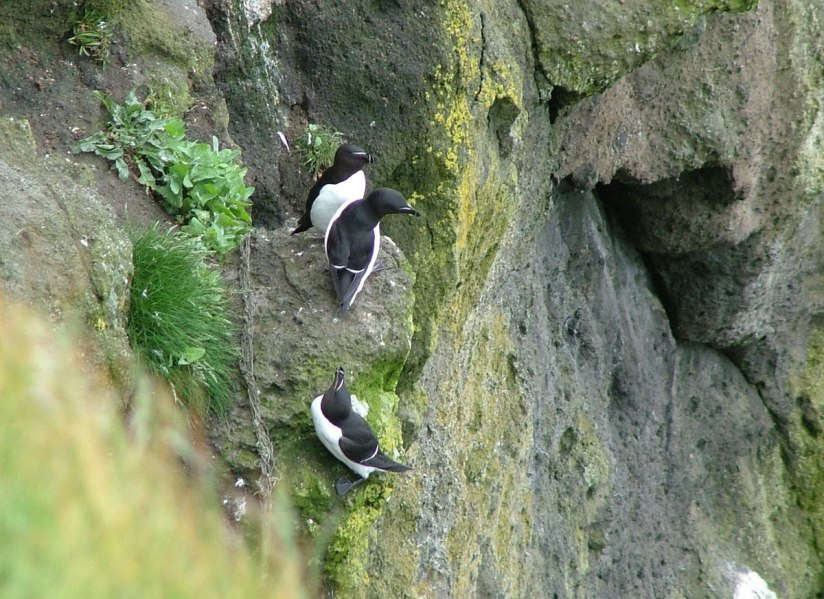 An image of three Razorbill auks at Carrick-a-Rede Island in Northern Ireland. Photography by Frame To Frame - Bob and Jean.