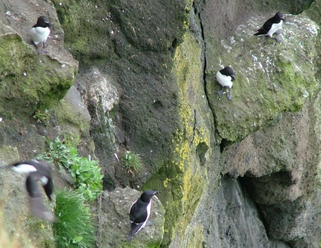 An image of a Razorbill auks on the cliffs at Carrick-a-Rede Island in Northern Ireland. Photography by Frame To Frame - Bob and Jean.