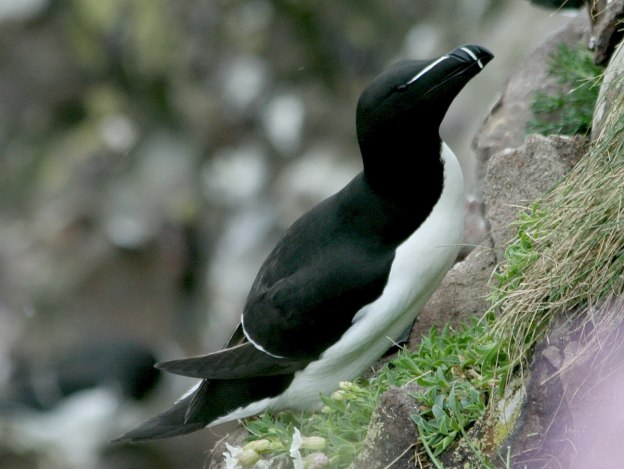Image of a Razorbill auk on Carrick-a-Rede Island in Northern Ireland. Photography by Frame To Frame - Bob and Jean.