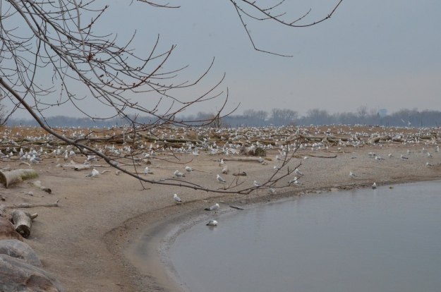 ring-billed gull colony at tommy thompson park, toronto, 3