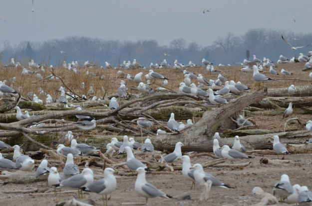 ring-billed gull colony at tommy thompson park, toronto, 6