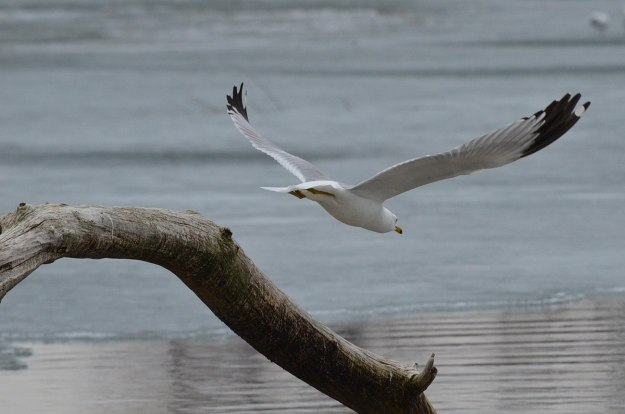 ring-billed gull takes flight, tommy thompson park, toronto, 2