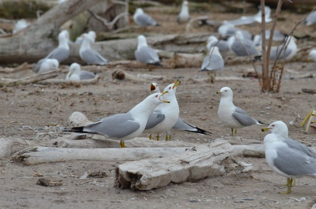 ring-billed gulls, tommy thompson park, toronto, 1
