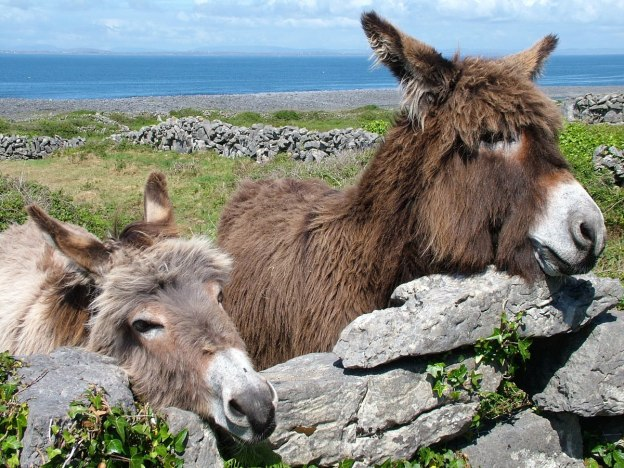 two donkeys on inishmore island, ireland 2
