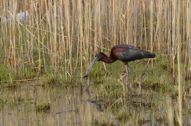 Glossy Ibis holds a leech in a wetlands in Whitby, Ontario, Canada