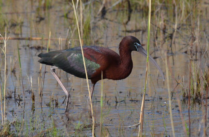 Glossy Ibis on the move in a wetlands in Whitby, Ontario, Canada