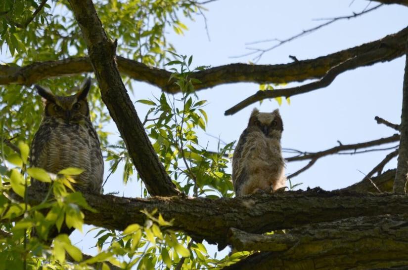 great horned owl and owlet, second marsh, oshawa, ontario