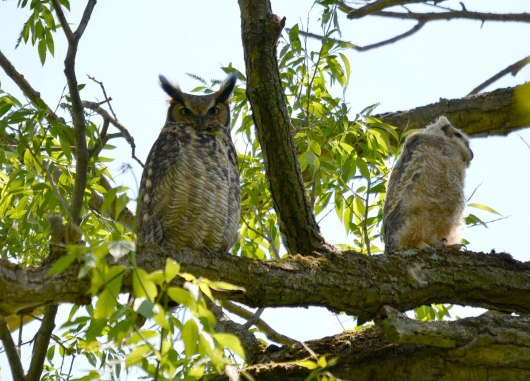 great horned owl and owlet, second marsh, oshawa, ontario,