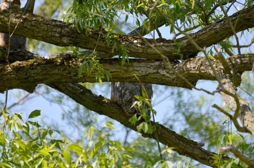 great horned owl, second marsh, oshawa, ontario