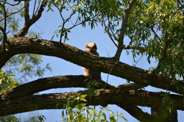great horned owlet, second marsh, oshawa, ontario, pic 4
