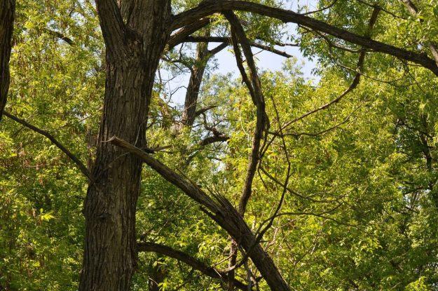 great horned owlet, second marsh, oshawa, ontario, pic 5