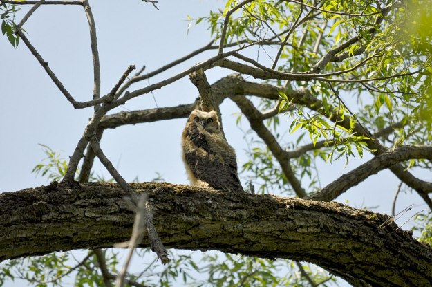 great horned owlet, second marsh, oshawa, ontario, pic 6