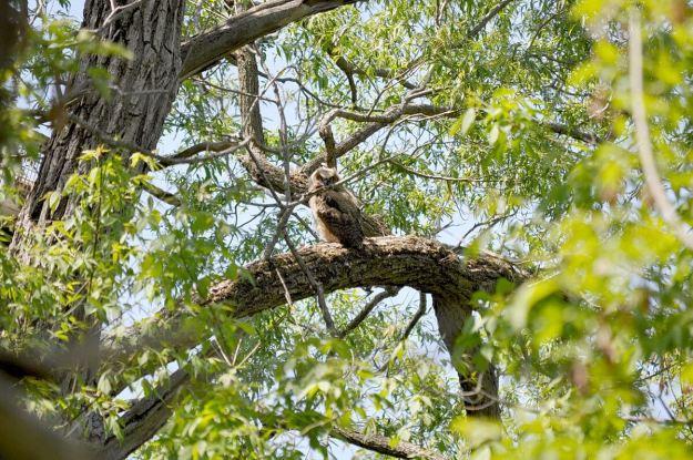 great horned owlet, second marsh, oshawa, ontario, pic 7
