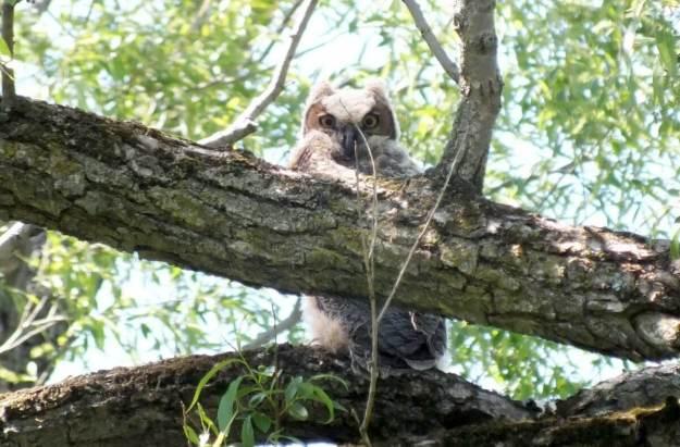 great horned owlet, second marsh, oshawa, ontario, pic 9