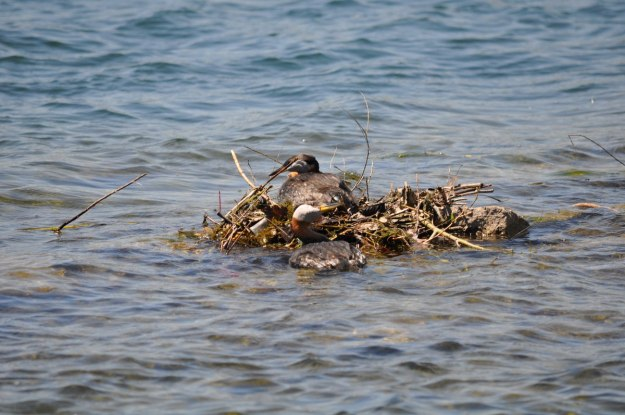 red-necked grebe, colonel samuel smith park, etobicoke, ontario, pic 4